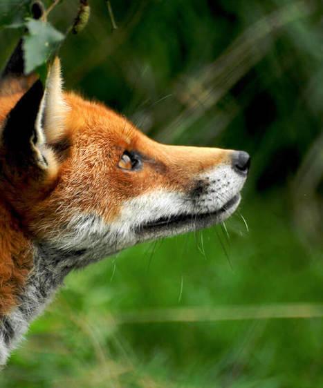 Le renard roux est-il un nuisible? | Biodiversité | Scoop.it