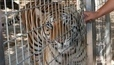 Tiger mauls worker's arm after she puts hand in cage | Animal Sciences | Scoop.it