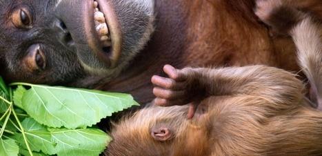 VIDÉO. La troublante communication des orangs-outans | Biodiversité | Scoop.it