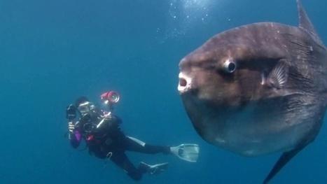 Vidéo Full HD | Le rêve californien... en plongée ! | Plongeurs.TV | Scoop.it