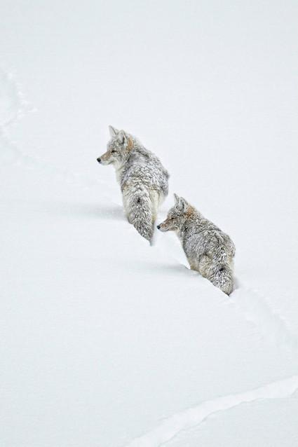 waasabi:<br/><br/>Winter Coyotes&nbsp;by&nbsp;Ignacio Y&uacute;fera   Interesting Photos   Scoop.it