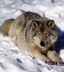 Loup : les Etats-Unis relancent le débat autour de la protection de l'animal | ETHIQUE ANIMALE | Scoop.it
