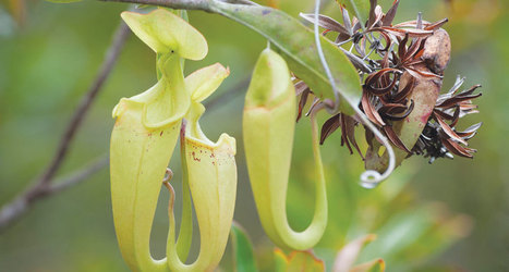 Fairly bad pitcher traps triumph in the end | Cool tidbits about plants | Scoop.it