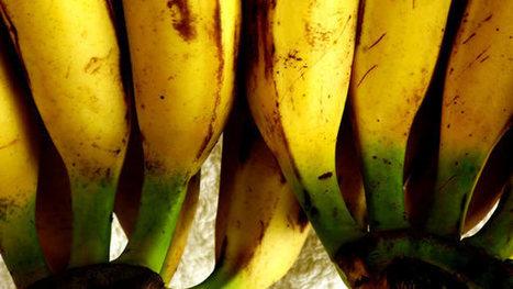 Universidad de Antioquia | El plátano podría convertirse en suero antidiarreico | Platano-Banana (Musa Cavendishii) | Scoop.it