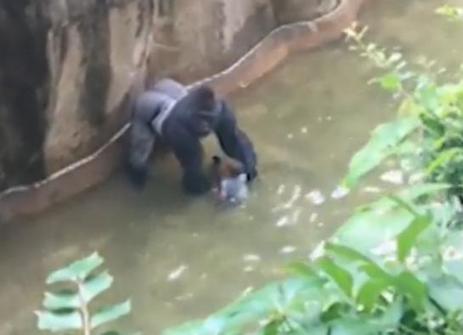 VIDEO. Etats-Unis : un enfant tombe dans l'enclos d'un gorille, le zoo tue l'animal | Biodiversité | Scoop.it