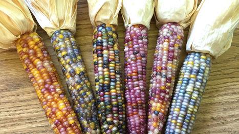 Voici l'histoire du maïs multicolore devenu star d'Internet   Permaculture, Horticulture, Homesteading, Bio-Remediation, & Green Tech   Scoop.it