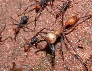 Ces oiseaux qui suivent les fourmis légionnaires pour se nourrir | EntomoNews | Scoop.it