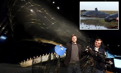 Plastic buckets found in dead sperm whale stomachs, experts claim | Year 1 Micro - Market Failure | Scoop.it