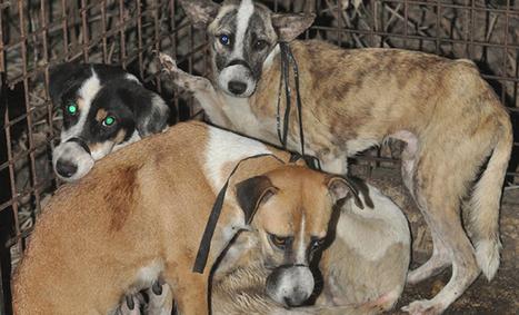 Field Report - Dog Seizure in Malasiqui | Blog | Network For Animals | Nature Animals humankind | Scoop.it