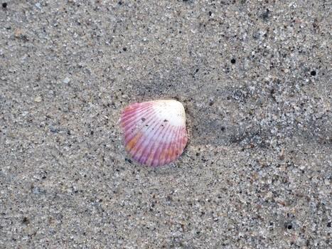 Photos de Coquillages du Panama - Shells of Panama - Coquillage - Coquille - Shell   Fauna Free Pics - Public Domain - Photos gratuites d'animaux   Scoop.it