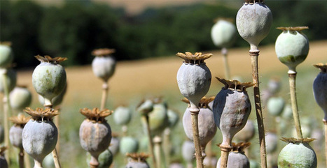 Rumors Persist That The CIA Helps Export Opium From Afghanistan | Wandering Salsero | Scoop.it