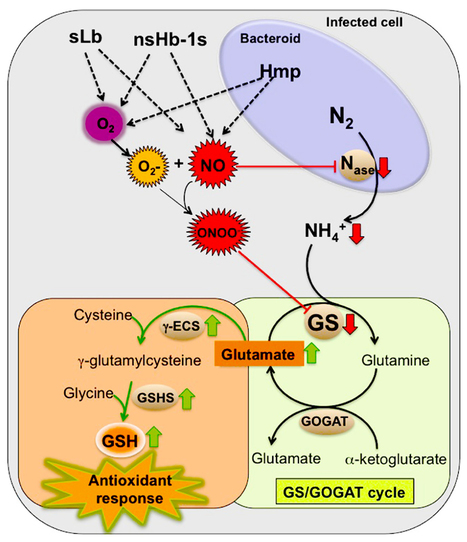 Possible role of glutamine synthetase in the NO signaling response in root nodules by contributing to the antioxidant defenses | Symbiotic Nitrogen Fixation | Scoop.it