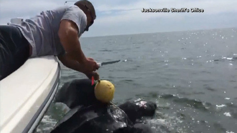 WATCH: Jacksonville deputies rescue 9-foot sea turtle | Compassion in Action | Scoop.it