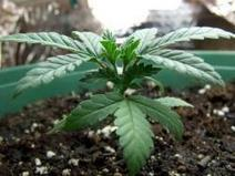 Growing organically - How do I manage pH ? | Grow Weed Easy | Grow Weed Easy | Scoop.it