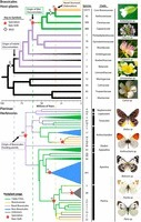 The butterfly plant arms-race escalated by gene and genome duplications | Emerging Research in Plant Cell Biology | Scoop.it