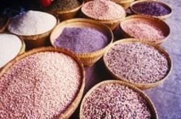 Proyecto piloto del IRTA sobre recuperación de variedades tradicionales de cereales parapanadería   salud equilibrio   Scoop.it