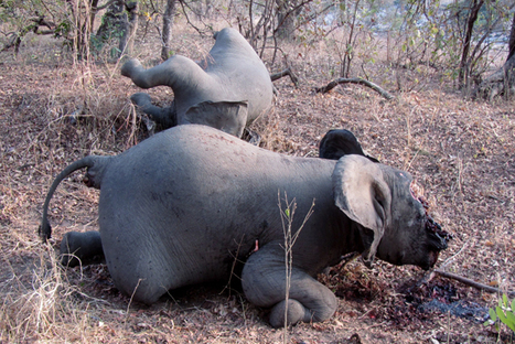 The Economics Of The Illegal Wildlife Poaching Trade - One Of The Most Lucrative, Destructive Black Markets In The World | Biodiversity IS Life  – #Conservation #Ecosystems #Wildlife #Rivers #Forests #Environment | Scoop.it
