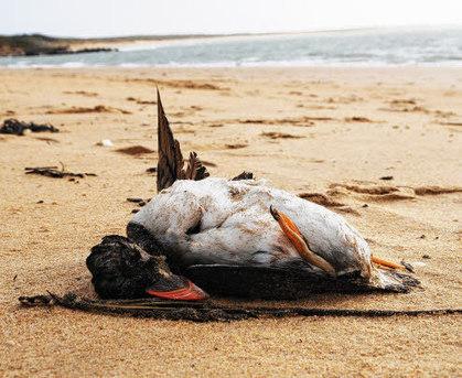 Mazout.  Des centaines d'oiseaux morts sur les plages | Arctique et Antarctique | Scoop.it