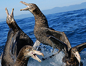 Easing The Collateral Damage That Fisheries Inflict on Seabirds by Jeremy Hance: Yale Environment 360 | IB Geography (Diploma Programme) | Scoop.it