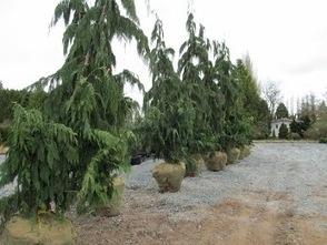 Very+Old+Chestnut+Tree+019+(640x480).jpg (346x260 pixels) | What's Growing On | Scoop.it