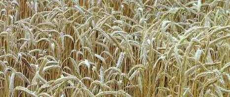 Céréales : Maïsadour rejoint Agribio Union - Agro Media | Actualité de l'Industrie Agroalimentaire | agro-media.fr | Scoop.it