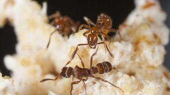 Chemically armed mercenary ant armies protect their host | All About Ants | Scoop.it