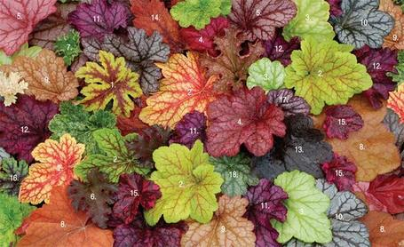 Heuchera and Heucherella - With Foliage This Brilliant, Who Needs Blooms? | Common Sense Gardening | Scoop.it