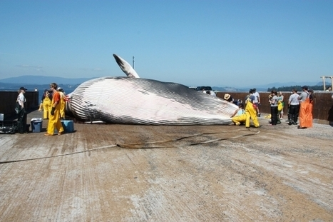 Shock over meat of endangered whales shipped through Canada | Nature Animals humankind | Scoop.it