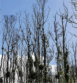 Alien fungus blights Hawaii's native trees | Plant pathogenic fungi | Scoop.it