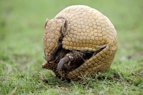 Fuleco le tatou, mascotte du Mondial… en voie d'extinction | Protection animale | Scoop.it