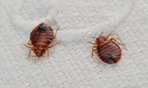 Look for the best Pest control services to contain the effects of bugs or pests in your living room   Blog   Bed Bugs Pest Control Sydney   Scoop.it