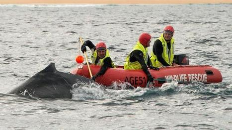 Young whale freed off NSW south coast | Whale and dolphin management | Scoop.it