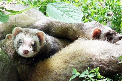 Polecat Comeback - Conservation Articles & Blogs - CJ   Wildlife and Conservation   Scoop.it