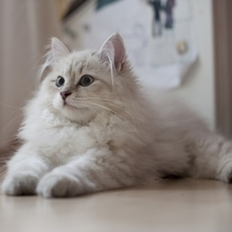 Siberian Cat | Cat Breeds Information | Scoop.it