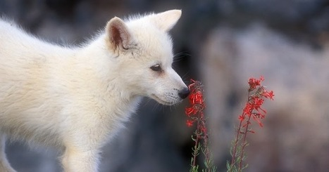Charming Photos Of Arctic Wolf Pups With Red Flowers | Oceans and Wildlife | Scoop.it