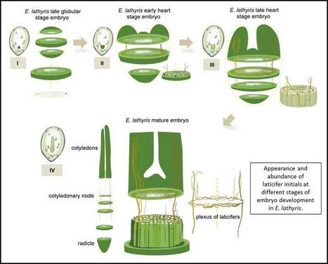 New in Plant Physiology: Laticifer Function and Development – Plant Science Today | Erba Volant - Applied Plant Science | Scoop.it