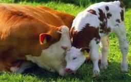 The Loving Bond of Cows and their Calves | GarryRogers Biosphere News | Scoop.it