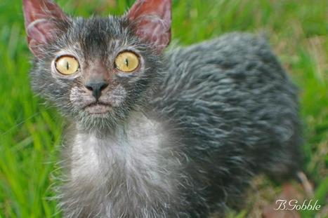 Rise of the Werewolf Cats: a New Breed Is Born - The Featured Creature   Cat Club Elite News   Scoop.it