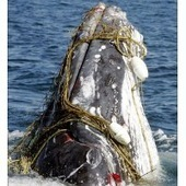 Record Number of Whales Snared in Fishing Gear off West Coast (USA) | GarryRogers Biosphere News | Scoop.it