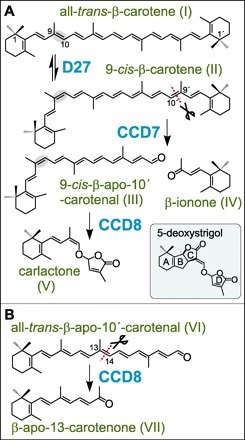 The Path from β-Carotene to Carlactone, a Strigolactone-Like Plant Hormone | Parasitic Plants | Scoop.it