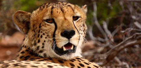 Gap year projects with cheetahs | Worldwide Experience | AnimalConservation | Scoop.it