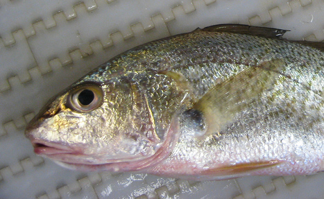 """Female Fish Develop """"Testes"""" in Gulf Dead Zone 