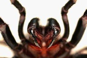 Chasse à l'araignée à toile entonnoir | ABC Radio Australia | EntomoNews | Scoop.it