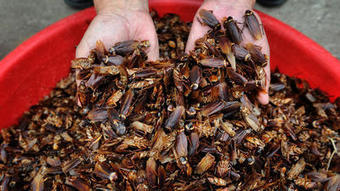 Cockroach farms multiplying in China | World | Scoop.it
