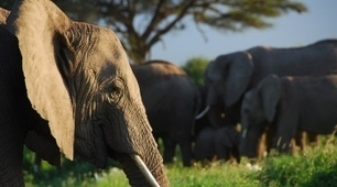 African elephants can distinguish human languages, genders and ages associated with danger | It Comes Undone-Think About It | Scoop.it