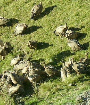 Saint-Lary-Soulan. Bal de vautours - La Dépêche   SAINT LARY   Scoop.it