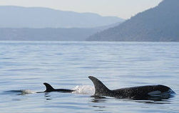 Newborn orca spotted in Salish Sea | animals and prosocial capacities | Scoop.it