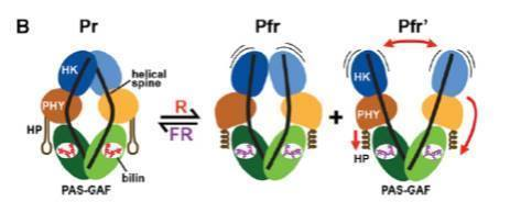(New Plant Cell Review) Phytochromes: An Atomic Perspective on Photoactivation and Signaling | Plant Biology Teaching Resources (Higher Education) | Scoop.it