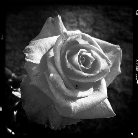 Rose | Hipsta | Scoop.it