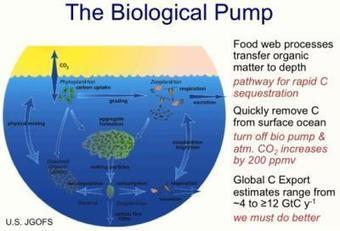 Healthy Ocean Food Web Is Key In The Global Carbon Cycle - Infographic | CLIMATE CHANGE WILL IMPACT US ALL | Scoop.it